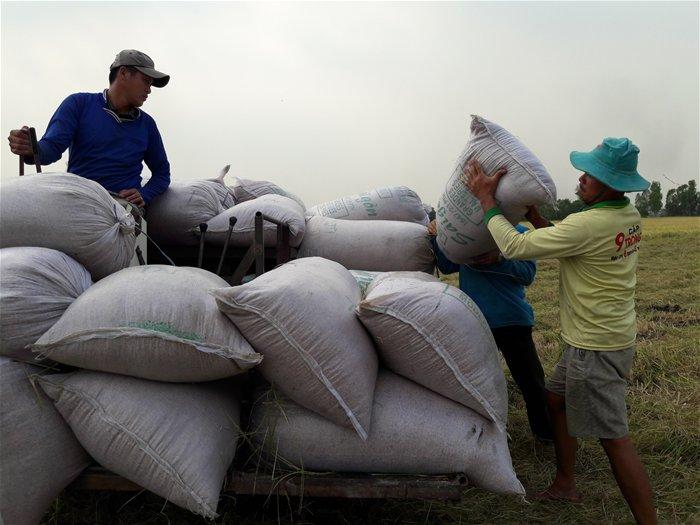 Xuất khẩu ảm đạm, thị trường lúa gạo vẫn sôi động