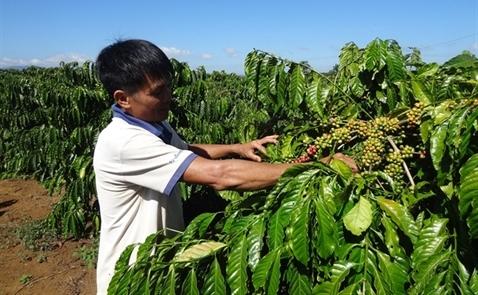 Xuất khẩu cà phê chế biến có thể đạt khoảng 350 triệu USD